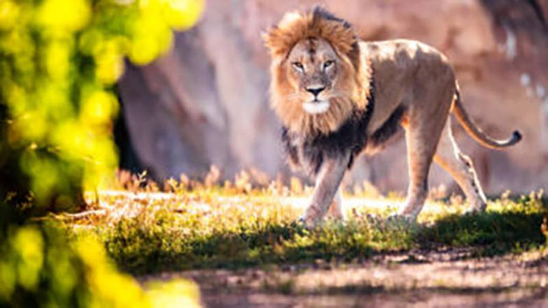 Zoo officials said 11 lions were tested for the virus after their keepers became concerned the...
