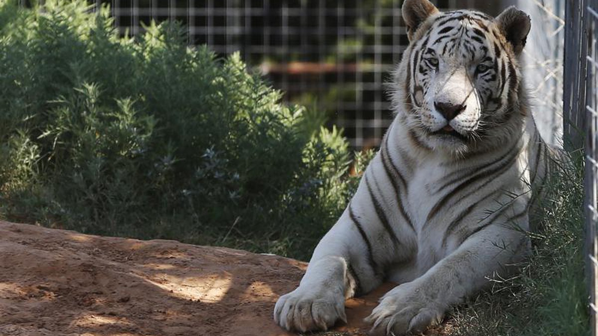In this Wednesday, Aug. 28, 2013, file photo, one of the tigers living at the Greater Wynnewood...