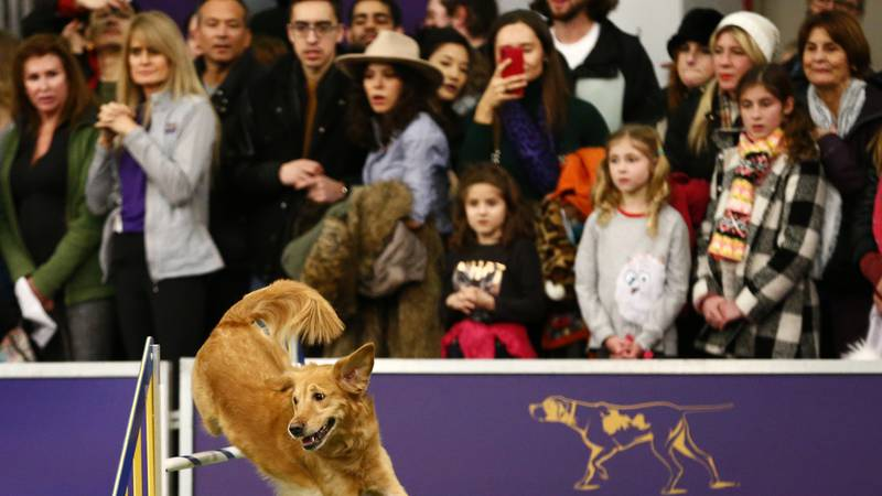 """Golden retriever """"Twist"""" competes in the masters agility championship during the Westminster..."""