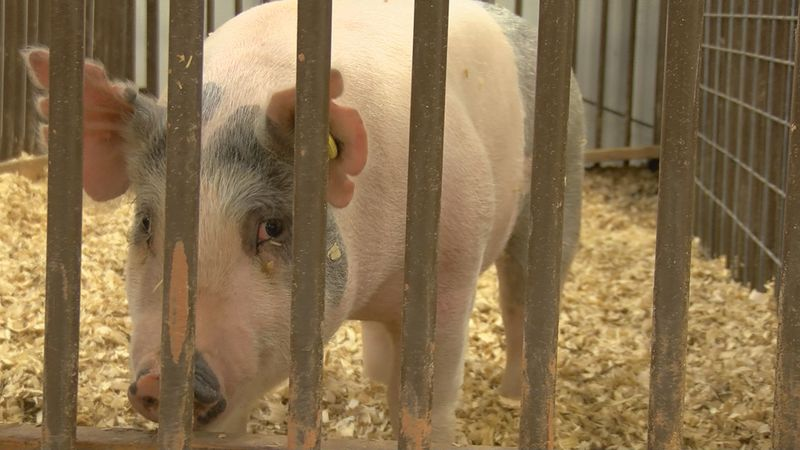A pig that Holliday FFA cares for