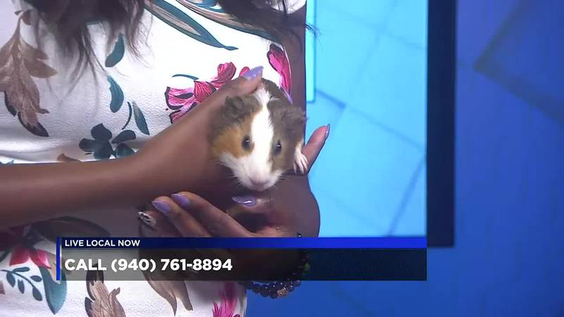Two guinea pigs are looking for a forever home, and can be adopted through the Wichita Falls...